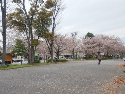 大洲防災公園には桜がいっぱい