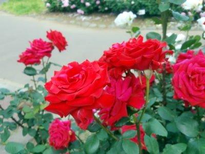 定番の赤い薔薇…だけど、大きい