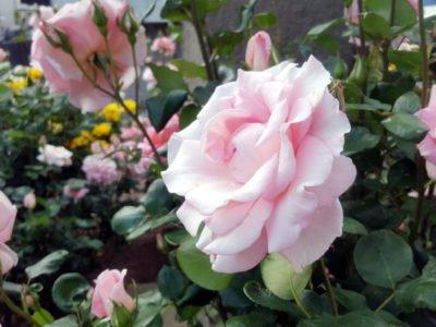 淡いピンクの薔薇