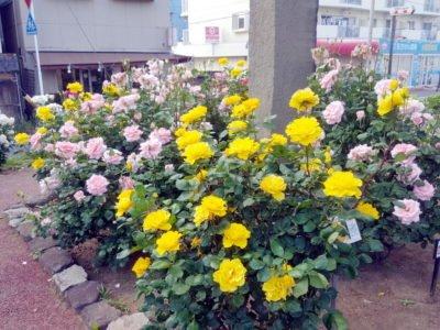 黄色い薔薇も